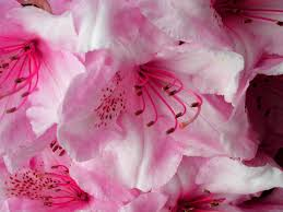 free beautiful pink flower petals flowers and nature computer desktop wallpapers pictures images