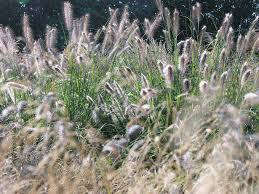 Lichtvangers Lampenpoetsersgras Pennisetum Alopecuroides Hameln