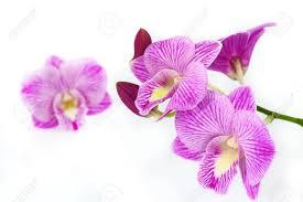 orchid purple color. Beautiful Purple Orchid Purple Color Thai Species Stock Photo  18002940 On Purple Color R