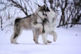 wolf puppies wallpaper. Wonderful Wallpaper Advertisements In Wolf Puppies Wallpaper A