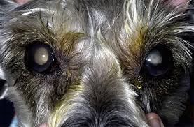 Cataracts Blindness And Diabetic Dogs Animal Eye Care