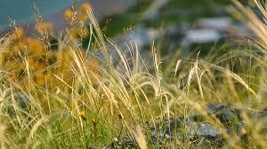 wild grass texture. The Texture Of Grass At Sunset. Wild Grass, Dry Stock Video Footage - VideoBlocks