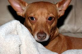 chiweenies are beautiful blends of chihuahuas and dachshunds you can clearly recognize both breeds in this adorable pooch point ears and a long nose
