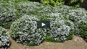 Small Picture plantcam Hebe vernicosa on Vimeo