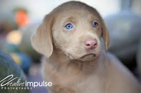 yellow lab with blue eyes. Exellent Eyes In Yellow Lab With Blue Eyes O