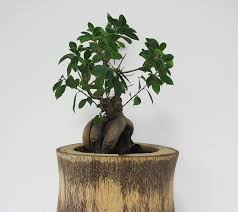 bonsai tree for office. Bonsai Tree Office Green Plant Grow Nature For