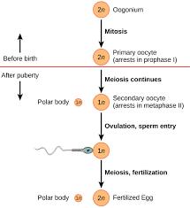 43 3c Gametogenesis Spermatogenesis And Oogenesis