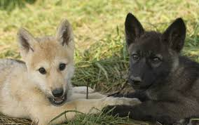 black wolf and white wolf pups. Beautiful Pups Wolves Breed In Late January And Early February Usually Only The Alpha  Pair U2014 Topranking Male Female Wolf Produce Pups With Black Wolf And White Pups A