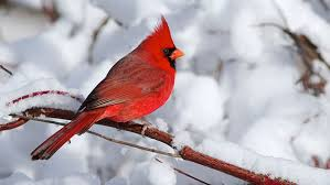 Are cardinals brighter in winter? All About Birds
