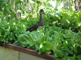 wild brown duck standing in a patch of green leaf vegetables