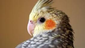 Image result for Cockatiel For Sale
