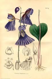 Lentibulariaceae - Wikipedia