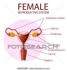 Female Reproductive System Chart Female Reproductive System Human Anatomy Banner Clipart