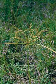 How To Kill Turf Weeds Like Nutsedge Crabgrass And Dandelion