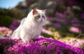 Ragdoll Cat Breed Characteristics And History Lovetoknow