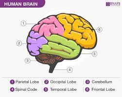 Human Brain Structure Diagram Parts Of Human Brain