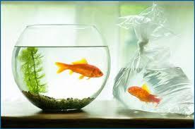 petco goldfish. Exellent Goldfish For Petco Goldfish P