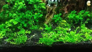 Best Low Light Carpet Plant Aquaticquotient Com