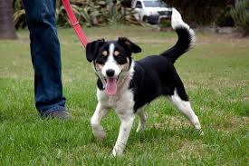 jack russell terrier border collie mix. Exellent Terrier For Jack Russell Terrier Border Collie Mix R
