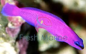 Dottyback Compatibility Chart Freshmarine Com Fridmani Pseudochromis Pseudochromis