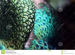 feather patterns peacock feather patterns stock image image of closeup 68797011