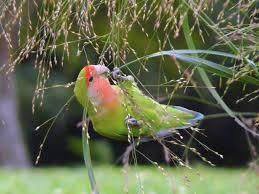 Lovebird Wikipedia