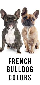 Brindle Color Chart French Bulldog Colors All The Colors A Frenchie Can Have