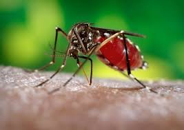 modifying mosquitoes to stop transmission of dengue fever