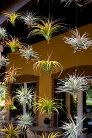 Our Visitor Center has a wall of Tillandsia (air plants) on display. A