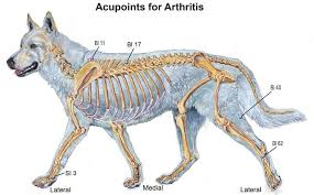 Acupressure Points For Canine Osteoarthritis Animal