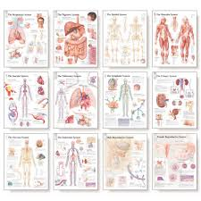 Body Systems Chart The Complete Body System Chart Set