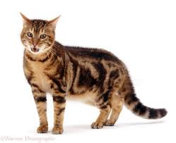 marble bengal cat. Delighful Bengal Brown Marble Bengal Male Cat Spike In Aggressive Posture White Background With Cat K
