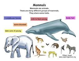 Classification Of Living Things Chart Class Mammals