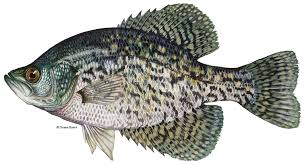 Crappie Length To Weight Chart Black Crappie