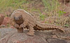 where have all the pangolins gone