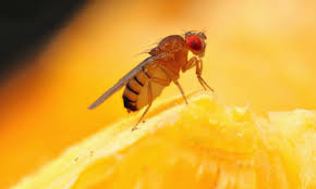 Small Flying Bugs In Bedroom How To Kill Fruit Flies And Prevent Them Too Housewife How Tosar