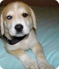 meet bear blue eye a dog for adoption