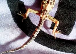 Leopard Gecko Size Chart How To Make Your Leopard Gecko Fat And Healthy Care