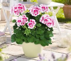 """Résultat de recherche d'images pour """"plante pot geranium"""""""