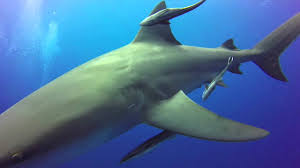 shark back hungry shark world the sharks are back pacific islands  back to basics adventures shark diving ponta do ouro back to basics adventures shark diving ponta