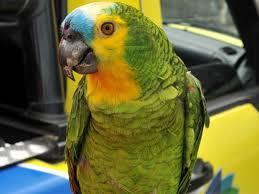 Resultado de imagem para papagaio