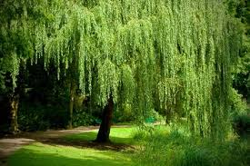 Image result for Swamp Willow landscaping ideas