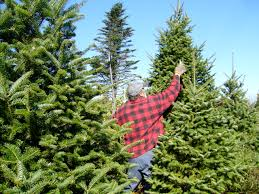 File:Balsam Fir Christmas Tree Pruning.jpg