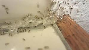Ants In Bathroom Impressive Inspiration Design