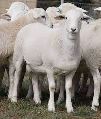 خروف استرالى ابيض - ويكيبيديا