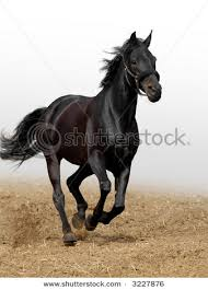black horses running in a field. Beautiful Running For Black Horses Running In A Field U