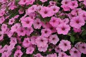 annuals flowers usage in your garden landscaping gardening ideas beautiful flower