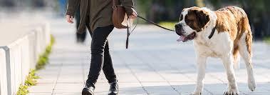 St Bermastiff Growth Chart Saint Bernard Dog Breed Facts And Traits Hills Pet