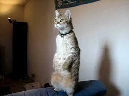 Standing Cat   Know Your Meme via Relatably.com