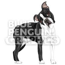 Boston Terrier Dog Version 9 Vector ...
